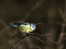 голубой tit cyanistes caeruleus Стоковое Изображение