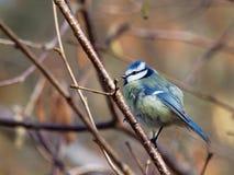 голубой tit cyanistes caeruleus Стоковые Изображения