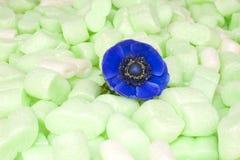 Голубой windflower в зеленой пене изоляции Стоковые Изображения RF