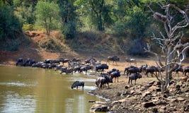Голубые антилопа гну & зебра на Waterhole Стоковая Фотография RF