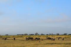Голубые антилопы гну и Томсон-газели, национальный парк Amboseli, k Стоковые Фотографии RF