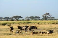 Голубые антилопы гну, национальный парк Amboseli, Кения Стоковые Фотографии RF