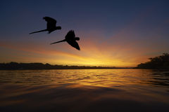 Голубые ары в области Амазонки Стоковое фото RF