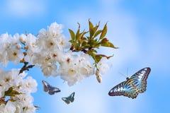 Голубые бабочки летая вокруг blossoming дерева Стоковое Изображение