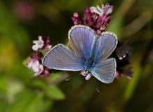 Голубые бабочки - общая синь (Polyomathus Икар) Стоковое Изображение RF