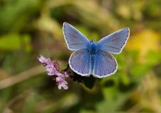Голубые бабочки - общая синь (Polyomathus Икар) Стоковое Изображение