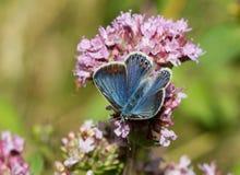 Голубые бабочки - общая синь (Polyomathus Икар) Стоковые Фото