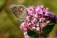 Голубые бабочки - общая синь (Polyomathus Икар) Стоковая Фотография