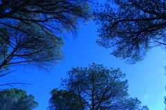 голубые валы неба сосенки Стоковые Фото