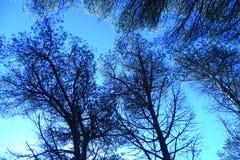 голубые валы неба сосенки Стоковая Фотография
