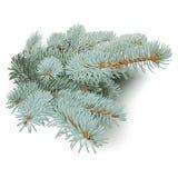 голубые ветви spruce Стоковое фото RF