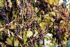 Голубые виноградины в деревне Стоковые Изображения