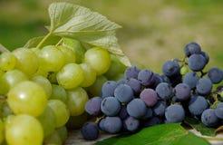 Голубые виноградины и зеленые виноградины Стоковое Изображение