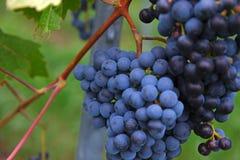 Голубые виноградины на кусте Стоковые Фотографии RF