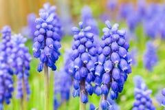 голубые виноградные гиацинты стоковые изображения