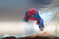 Голубые воюя рыбы Стоковые Фотографии RF