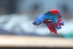 Голубые воюя рыбы Стоковые Изображения RF
