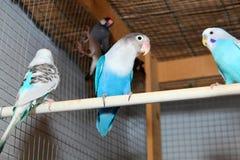 Голубые волнистые попугайчики в клетке Стоковое Фото