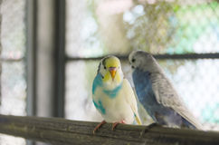 Голубые волнистые попугайчики Стоковые Изображения