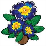 Голубые в горшке цветки первоцвета изолированные на белизне Стоковые Изображения RF