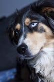 голубые глаза собаки Стоковые Изображения