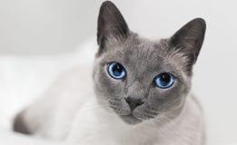 Голубые глазы сиамского кота расслабляющие Стоковые Изображения