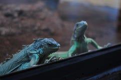 Голубые игуаны в terrarium Стоковые Изображения