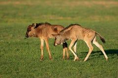 Голубые икры антилопы гну Стоковая Фотография RF