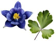 Голубые листья цветка и зеленого цвета на белизне изолировали предпосылку с путем клиппирования Отсутствие теней closeup Стоковые Фотографии RF
