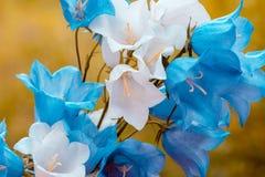 Голубые и белые цветки колокольчика Стоковая Фотография
