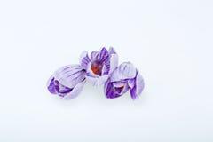Голубые и белые цветки крокуса Стоковая Фотография