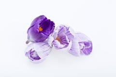 Голубые и белые цветки крокуса Стоковое Изображение RF