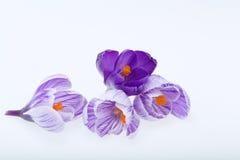 Голубые и белые цветки крокуса Стоковые Изображения