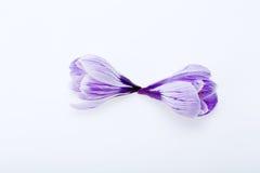 Голубые и белые цветки крокуса Стоковое Изображение