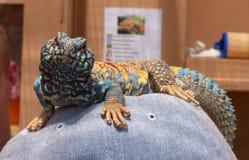 Голубые и желтые гекконовые Стоковые Фотографии RF