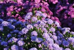 Голубые и фиолетовые заводы на ферме Стоковые Фотографии RF