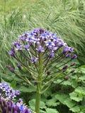 Голубые и фиолетовые цветки Стоковое фото RF