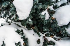 Голубые конусы ели под снегом Стоковое Изображение RF