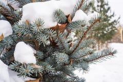 Голубые конусы и иглы ели под снегом Стоковое фото RF