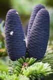 Голубые конусы сосны Стоковые Изображения RF