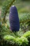 Голубые конусы сосны Стоковое Изображение RF