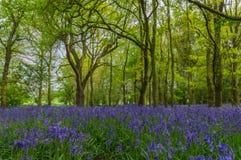 Голубые колоколы стоковое фото