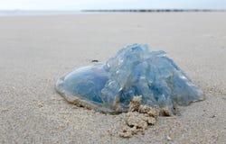 Голубые медузы в Зеландии, Голландии Стоковые Фотографии RF