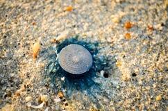 Голубые медузы лежа в песке пляжа стоковые изображения rf