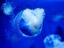 голубые медузы стоковая фотография rf