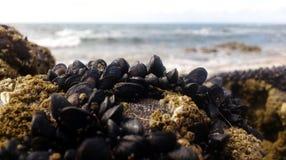 Голубые мидии перед морем Стоковые Фотографии RF