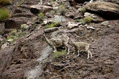 Голубые овцы на скале Стоковое Изображение