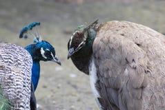 голубые павлины стоковая фотография rf