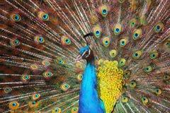 Голубые павлин/Pavo Cristatus Стоковая Фотография