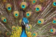Голубые павлин/Pavo Cristatus Стоковое Фото